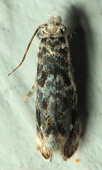 Unknown Moth - Dryadaula