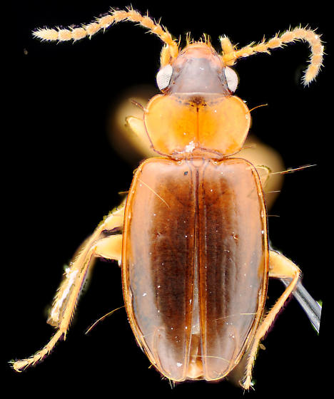 Carabidae? dorsal - Tachys