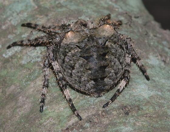 Giant Lichen Orbweaver? - Araneus saevus - female