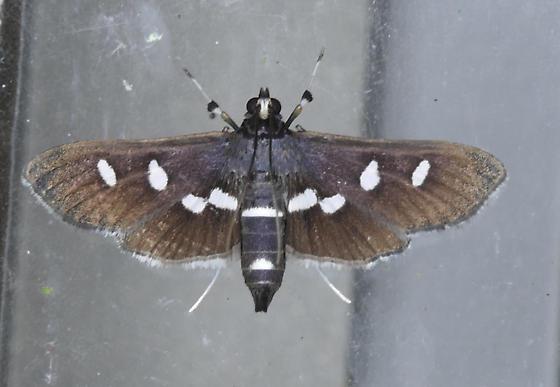 Texas SE Gulf Coast - Desmia maculalis - female