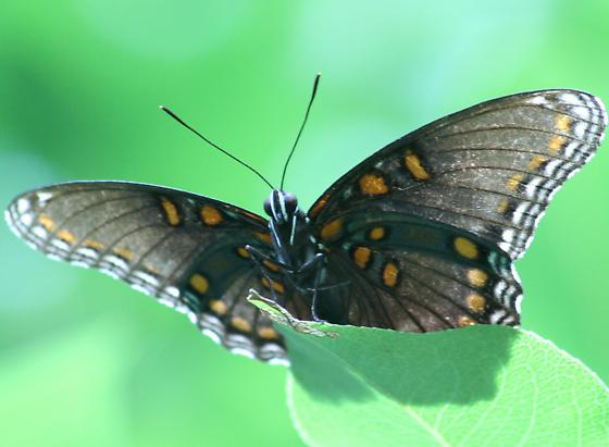 Red-Spotted Purple - Ventral - Limenitis arthemis