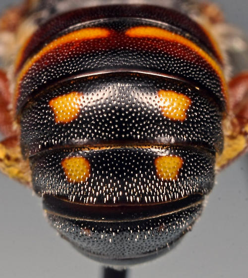 abdomen dorsal - Anthidiellum perplexum