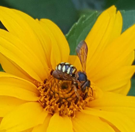 Wasp on Ox Eye - Dianthidium