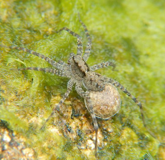 Unknown Spider - Pardosa