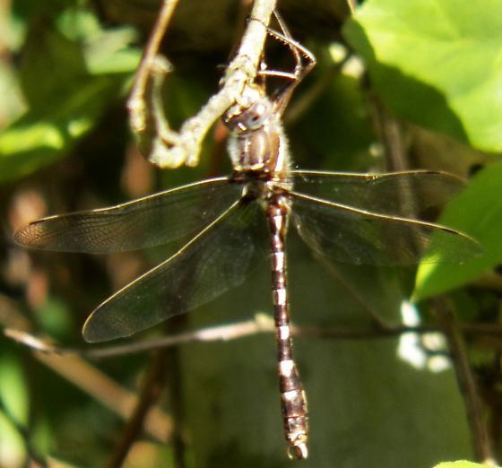 Creek dragonfly - Didymops transversa
