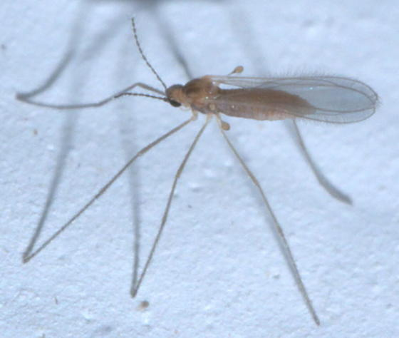 Small brown fly with long legs - Isocolpodia