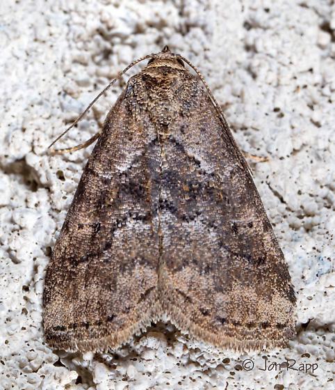 White-lined Graylet Moth - Hyperstrotia nana