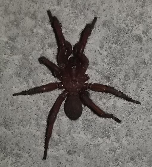 Possible Ummidia adouini - Antrodiaetus
