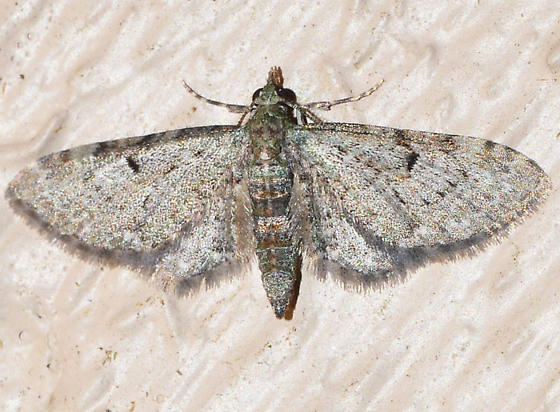 ? - Eupithecia