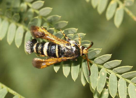 Seseiid - Osminia ruficornis