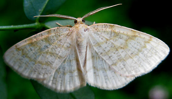 Moth - Cabera erythemaria - male