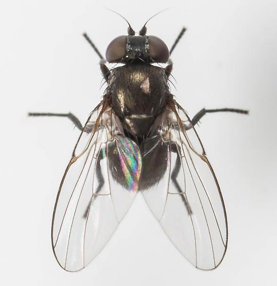 Fly - Japanagromyza viridula