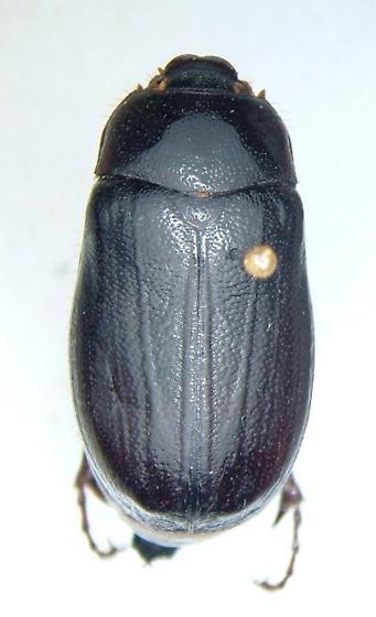 Phyllophaga vehemens - female
