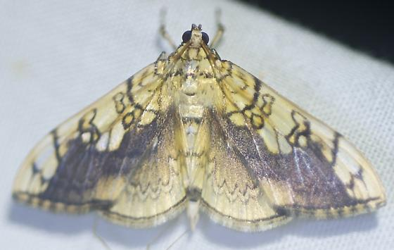 Moth at light - Pantographa limata
