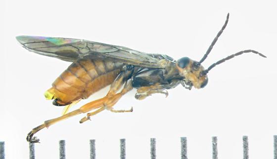 Tenthredinidae  - Pontania - female