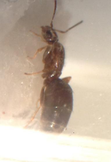 Brachymyrmex sp. - Brachymyrmex patagonicus - female