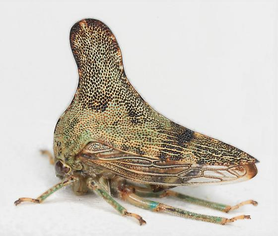 BG2313 E8239 - Glossonotus acuminatus