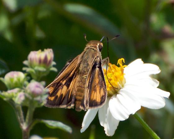 Skipper of some sort. - Hylephila phyleus