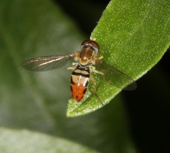 Syrphid fly - unknown genus  - Toxomerus marginatus - male