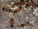 tiny ants - Temnothorax
