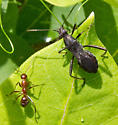 Broad-headed Bug - Alydus sp? - Alydus eurinus