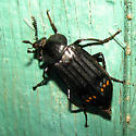 Red-lined Carrion Beetle - Necrodes surinamensis - female