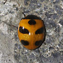 Mountain Lady Beetle - Coccinella monticola
