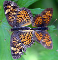 Unidentified Lepidoptera - Phyciodes tharos - male - female