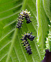 Spiny Caterpillars - Polygonia comma
