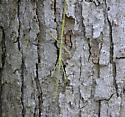 walking stick - Manomera tenuescens