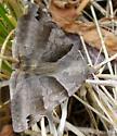 clover looper? - Caenurgina crassiuscula
