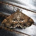 Spotted Beet Webworm Moth - Hodges #5169 - Hymenia perspectalis