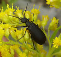 Blister beetle, possibly Epicauta - Epicauta pennsylvanica