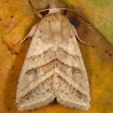 Heliothis sp.? - Chloridea subflexa