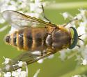 Is this Stonemyia tranquilla? - Stonemyia tranquilla - male