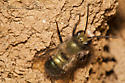Green bee - Osmia lignaria