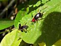 Red-headed Bush Cricket? - Phyllopalpus pulchellus - male - female