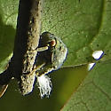 Unknown insect - Acanalonia