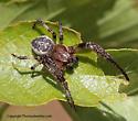 Spider - Larinioides