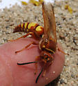 Sphecius grandis - male