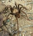 Tarantula? Trap door spider? - Aphonopelma
