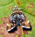 Skullcap Skeletonizer Moth - Prochoreutis inflatella