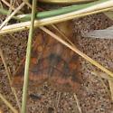 unidentified owlet(?) moth - Enargia