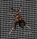 Unknown Lepidoptera - Wasp Mimic? - Podosesia syringae - male