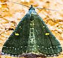 Idia sp? - Tetanolita mynesalis - female