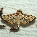 Moth - Hileithia magualis
