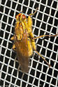 Scathophaga stercoraria - Golden Dung Fly - Scathophaga stercoraria