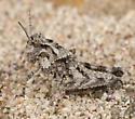 San Nicolas Grasshopper - 4th Instar - Conozoa nicola