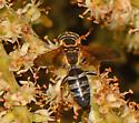 Silver banded Wasp - Tachytes