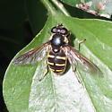 Sericomyiini 01 - Sericomyia chalcopyga - female